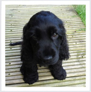 black cocker spaniel puppy, bertie