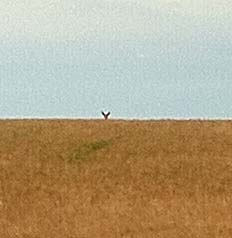 Deer in field