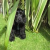 black cocker spaniel puppy hiding
